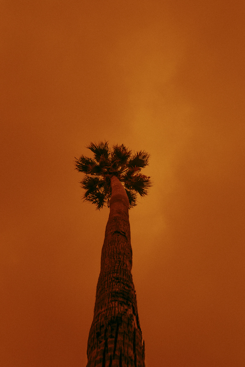 SF palm tree in wildfire smoke by Kit Castagne